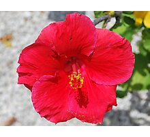 Red Sunny Hibiscus Photographic Print