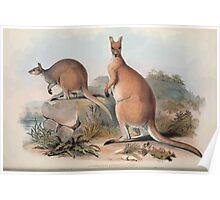 A monograph of the Macropodidæ or family of kangaroos John Gould 1842 022 Osphranter Antilopinus Poster