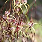 Chapman's group of Orchids 3 Blythe Reserve Dunsborough by Leonie Mac Lean