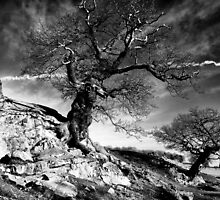 Aged Oaks by Lee  Gill
