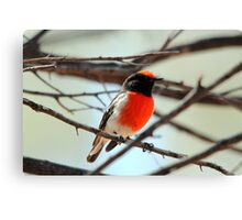 Red-capped Robin - Male Canvas Print