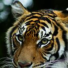 Australia Zoo - Sumatran Tiger  by Sea-Change