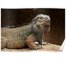 Australia Zoo - Rhinoceros Iguana Poster