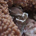 Porcelain Crab by Philmed