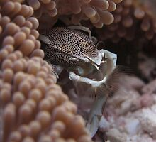 Porcelain Crab by Philmed