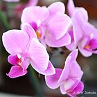 Pink Orchid by Darkness666