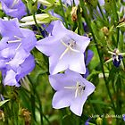 Harebells by Annie Altherr