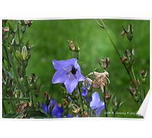 Harebells with Bee Poster