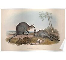 A monograph of the Macropodidæ or family of kangaroos John Gould 1842 007 Halmaturus Bennettii Poster
