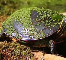 Painted Turtle by Havocgirl