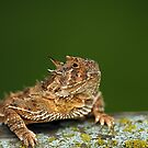Texas Horned Lizard by Samantha Dean