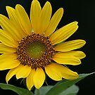 Sunflower Beauty by Samantha Dean
