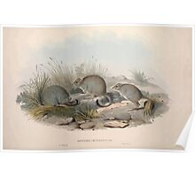 A monograph of the Macropodidæ or family of kangaroos John Gould 1842 014 Bettongia Penicillata Poster