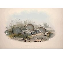 A monograph of the Macropodidæ or family of kangaroos John Gould 1842 014 Bettongia Penicillata Photographic Print