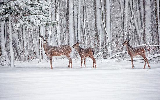Winter Visit by Karol Livote