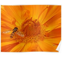 Hoverfly enters the marigold Poster