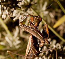 Praying Mantis by Mambo