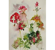 Lively Geraniums Photographic Print