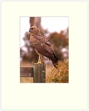 Swamp Harrier by Kym Bradley