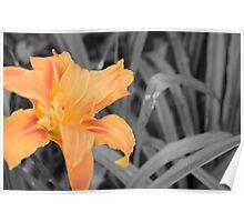 Orange flower on Grey background Poster