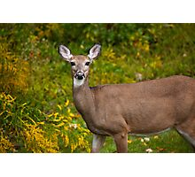 White Tail Early Autumn Photographic Print
