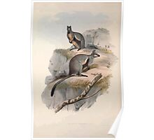 A monograph of the Macropodidæ or family of kangaroos John Gould 1842 024 Petrogale Lateralis Poster