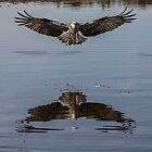 Haisting Point Osprey Northern NSW by Ron Finkel