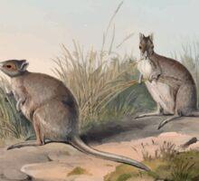 A monograph of the Macropodidæ or family of kangaroos John Gould 1842 028 Lagorchestes Conspicillata Sticker