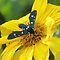 Polka-Dot Wasp Moth (Oleander Moth) on a Mexican Sunflower by AuntDot