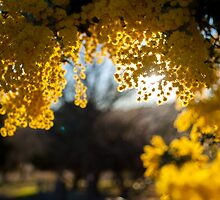 Golden Wattle by Candice O'Neill