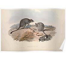 A monograph of the Macropodidæ or family of kangaroos John Gould 1842 029 Bettongia Cuniculus Poster