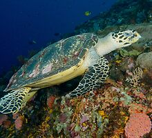 Hawksbill turtle - Erectmochelys imbricata by Andrew Trevor-Jones