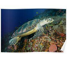 Hawksbill turtle - Erectmochelys imbricata Poster