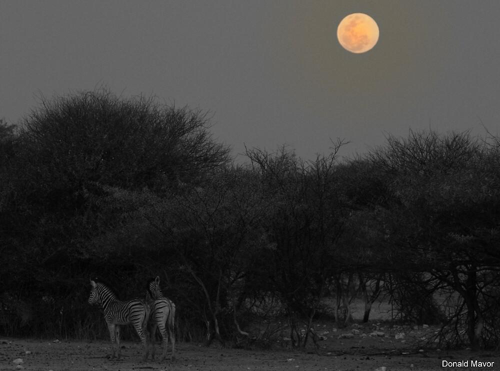 Zebra Foals by Donald  Mavor
