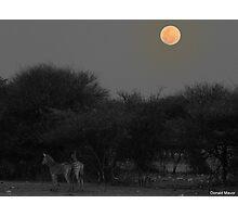 Zebra Foals Photographic Print