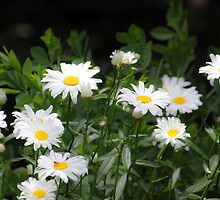 Mini Daisies - Cases by Kathy Nairn