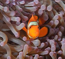 False Clown Anemonefish - Amphiprion ocellaris by Andrew Trevor-Jones