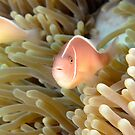Pink Anemonefish - Amphiprion perideraion by Andrew Trevor-Jones