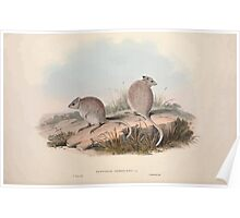 A monograph of the Macropodidæ or family of kangaroos John Gould 1842 013 Bettongia Rufescens Poster