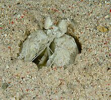 Mantis Shrimp - Lysiosquillina maculata by Andrew Trevor-Jones