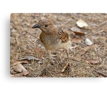 Bower Bird Canvas Print