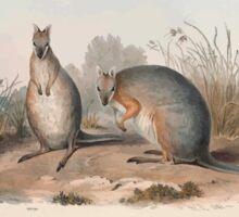 A monograph of the Macropodidæ or family of kangaroos John Gould 1842 011 Halmaturus Derbianus Sticker