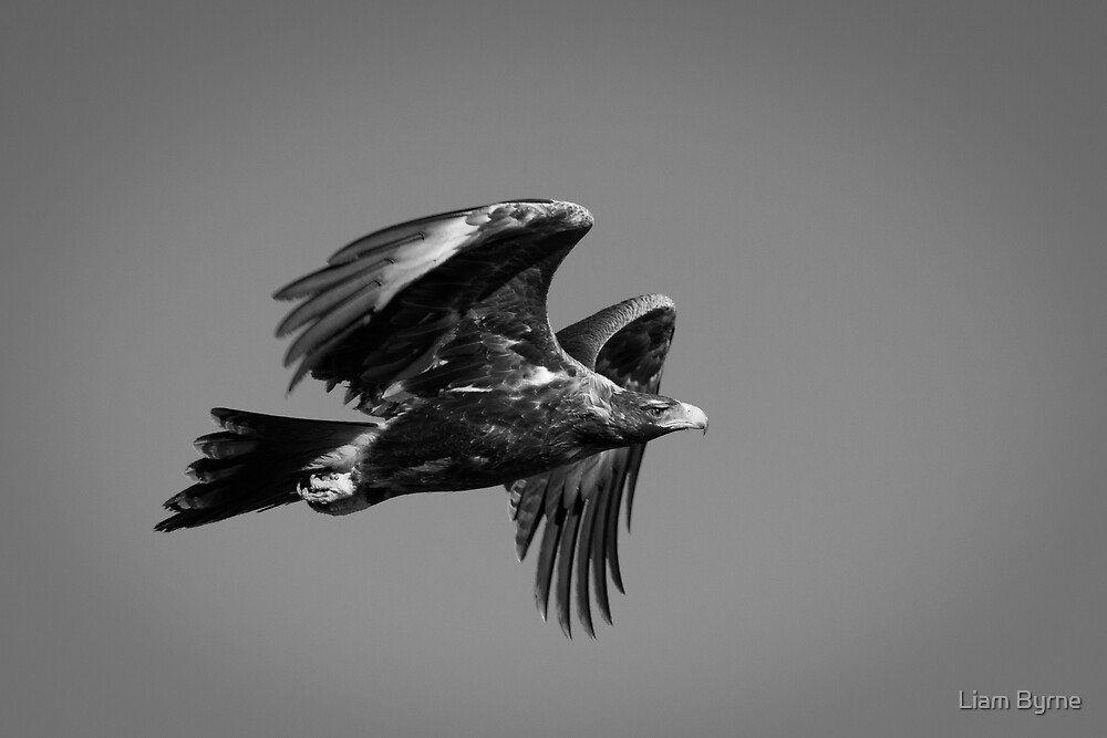 Wedgetail Eagle - Great Victorian Desert, WA by Liam Byrne