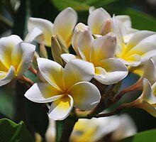 Frangipani by tropicalsamuelv