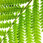 Backlit Fern (iPhone/iPod Case) by April Koehler
