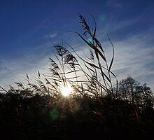 Reeds in the WInter Sun by HexCam