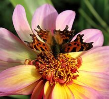 Butterfly on Flower by blackdot