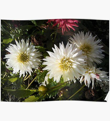 three white dahlias Poster