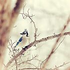 Blue Jay Winter by Karol Livote