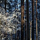 24.11.2015: Snowy Trees in the Forest by Petri Volanen